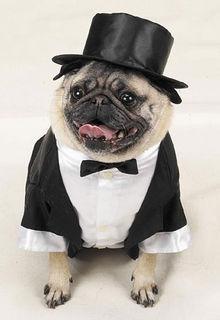 Pug in tuxedo
